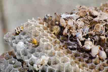 スズメバチ巣