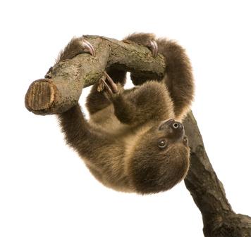 ナマケモノぶら下がる木