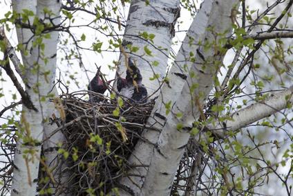 高い木の上にあるカラスの巣
