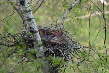 カラスの巣