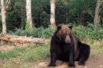 ヒグマの寿命!最長年齢と平均年齢や体長、体重は野生と飼育で違う?