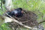 カラスの子供を見ない理由!巣の場所と産まれる時期や巣立ちはいつ?