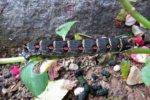 スズメガの幼虫は毒がある?生態や刺されたり触れたときの危険性は!