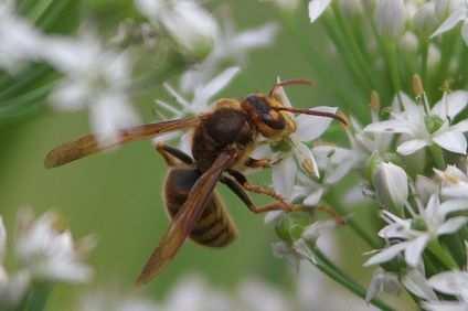 黄色スズメバチ