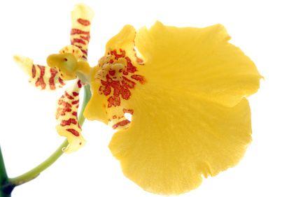 オンシジウムの花びら