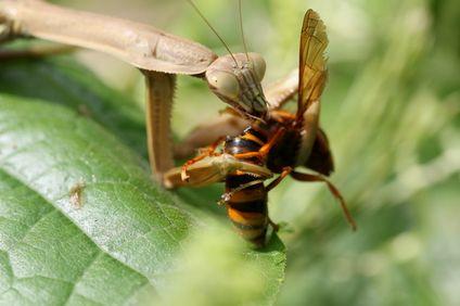 カマキリと蜂