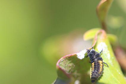 アブラムシを食べるナミテントウの幼虫