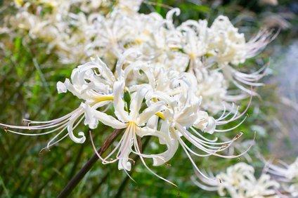 白い色の彼岸花