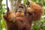 オランウータンの握力はどのくらい?他の動物や人間と比べてどっちが強い!