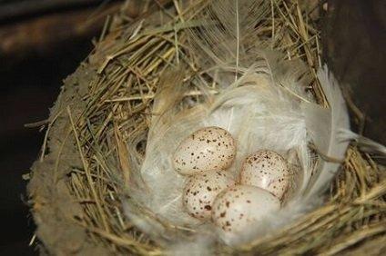 ツバメの卵