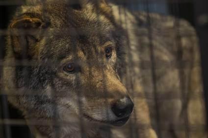 ニホンオオカミの復活の計画