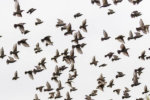 ムクドリの鳴き声がギャーギャーうるさい!理由と大群への時期的対策?